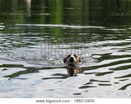 Dog Jack Russell Terrier swimming in the lake