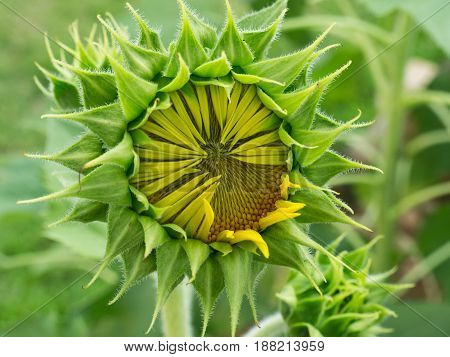 Close Up Beautiful Sunflower.
