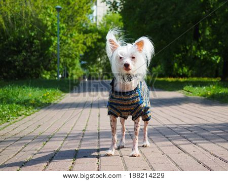 Chinese crested dog in beautiful clothes on the footpath in the Park