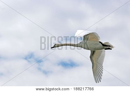 flying swan against a sky with clouds