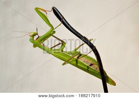 Big green mantis hangs on the tip of the black earpiece