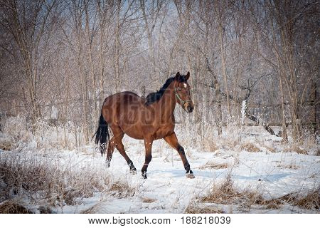 Stunning brown horse during a exercise on the snowy meadow