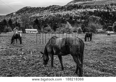 Grazing horses in mountain valley near chilliwack bc. Three black and one white horse next to farm house.