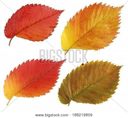 Autumn leaves isolated on white background. A set of red and yellow leaves of the elm. Herbarium.