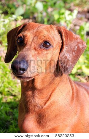 Purebred dog Dachshund, a hunting breed. Dog German Dachshund red color.