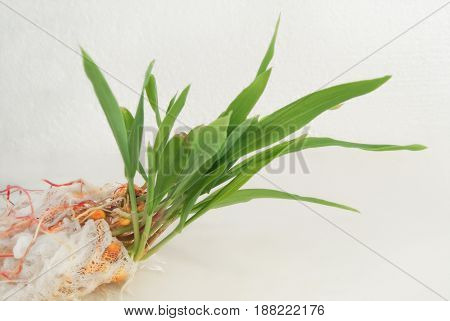 Sprouted Corn Kernels With A Root System.young Green Shoots On A