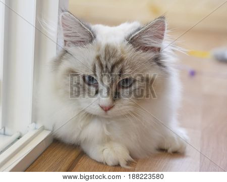 Cute Persian Munchkin Cat In White And Grey Color And Blue Eyes.