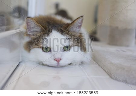Cute Munchkin Cat In White And Brown Hair Color