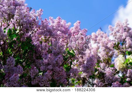 Pink lilac on the sky background. flowering tree