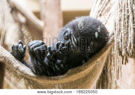 Black Baby Gorilla Monkey Lying In Net