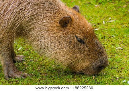 Capybara Brown Fur Biber Like On Grass