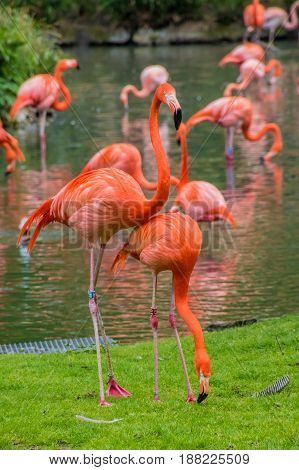 Flamingo Phoenicopter Red Feathers Standing At Pont