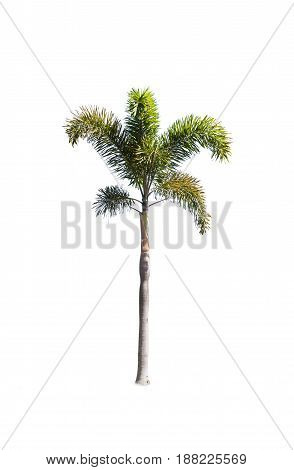 Betel or palm tree , an asian trees isolate on white background