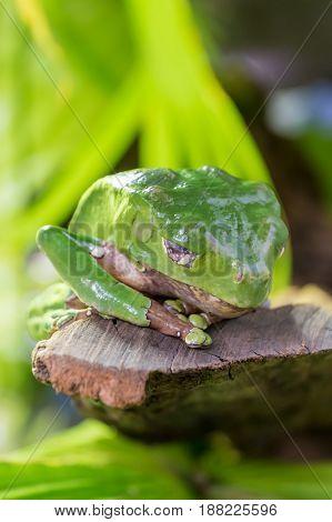 Green Tropical Frog Toad Sleeping On Rock