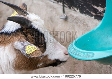 Head Of Young Baby Goat Drinking Water