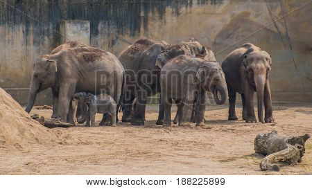 Mob Of Asian Elephants Grey Thick Skin Baby Elephant