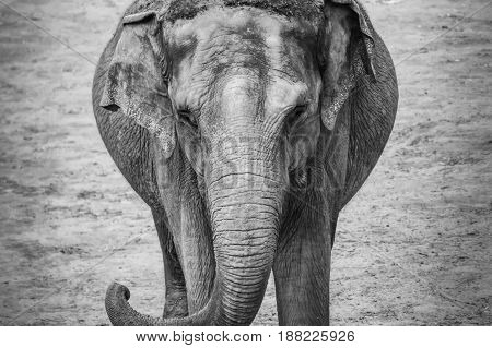 Old Grey Elephant Portrait Trunk Thick Skin