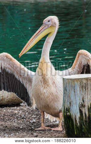Pelican With Yellow Beak Showing His Wings