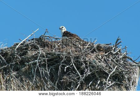 Eagle In The Nest At Isla De Los Pajaros