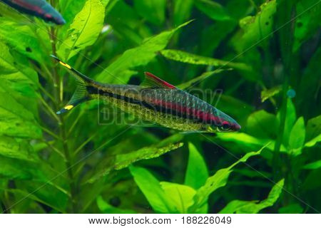 Red And Black Striped Fish In Front Of Green Waterplants