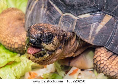 Tortoise Shell Turtle Eating Vegetables Reptile Head