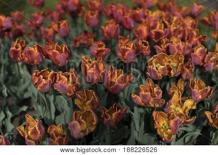 orange tulips on the field close up view