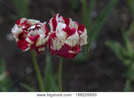 red and white tulips close up view