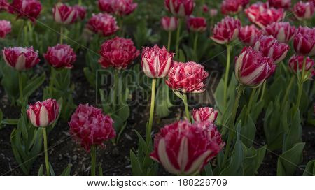 fresh colorful tulips flowers field, close view