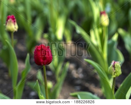 fresh colorful tulips flower field close-up view