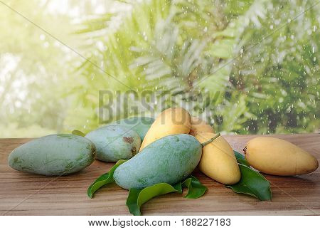 Green & Yellow Mango in wooden table on blurred raining in garden background.