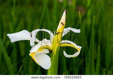 The ants are hard at work on this white iris