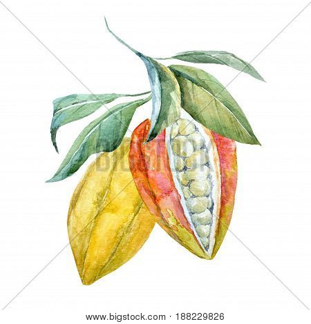 Beautiful illustration with watercolor hand drawn cacao fruits