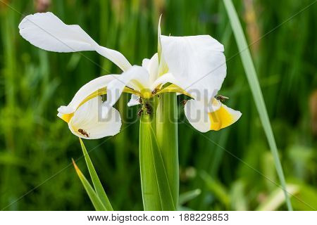 The ants are hard at work on another white iris
