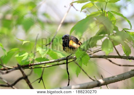 American Redstart male perched on branch in early spring