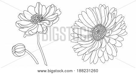 Camomile, echinacea flower hand drawing vector illustration.