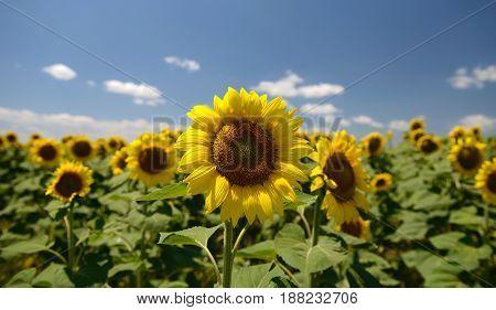sunflower field close view on blue sky