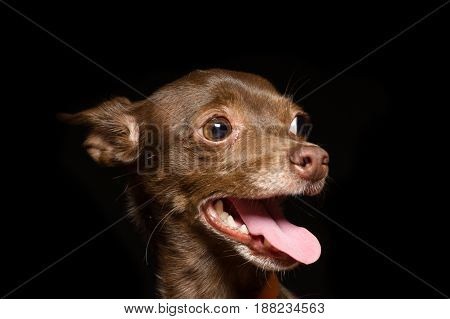 Brown that terrier girl joyfully sticking out her tongue close-up portrait in profile on a black background