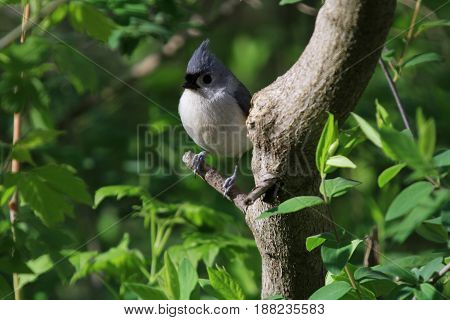 Tutfed Titmouse perched on branch in early morning sun