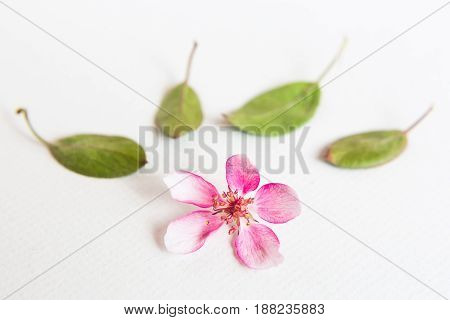 close up of light and soft sacura flower and green leaves behind on white background. Concept of love. feeling of spring. Dof on sacura flower