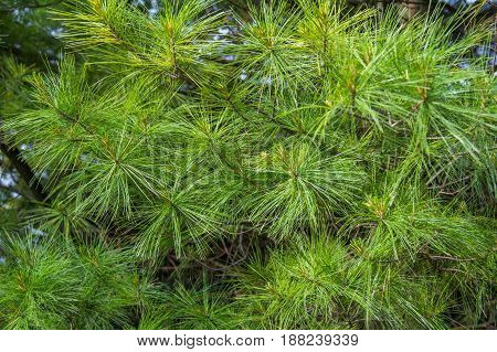 soft white pine needles will make a nice background