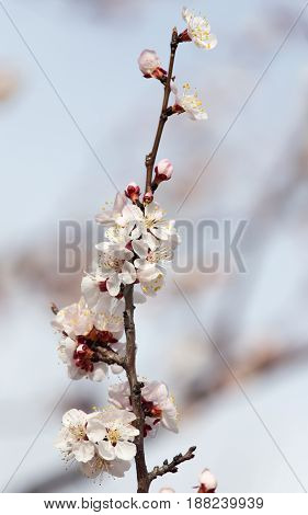 beautiful flowers on a tree in spring . A photo