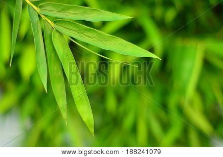 beautiful wall bamboo leaves in rainy season
