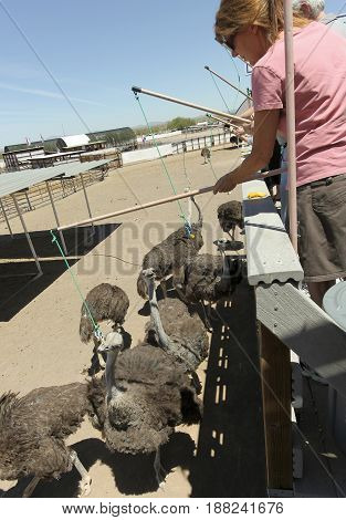PICACHO, ARIZONA, MAY 21. Rooster Cogburn Ostrich Ranch on May 21, 2017, near Picacho, Arizona. A Woman Ostrich Fishin', Rooster Cogburn Ostrich Ranch near Picacho, Arizona.