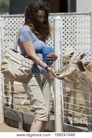 PICACHO, ARIZONA, MAY 21. Rooster Cogburn Ostrich Ranch on May 21, 2017, near Picacho, Arizona. A Woman Feeds Fallow Deer, Rooster Cogburn Ostrich Ranch near Picacho, Arizona.