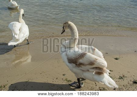 Swans on the shore of the Black Sea in Bulgaria, Varna.