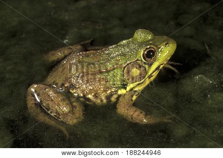 A Green Frog, (Lithobates clamitans) sitting in shallow water at night