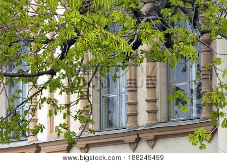 branches with young green leaves of a chestnut tree against the building