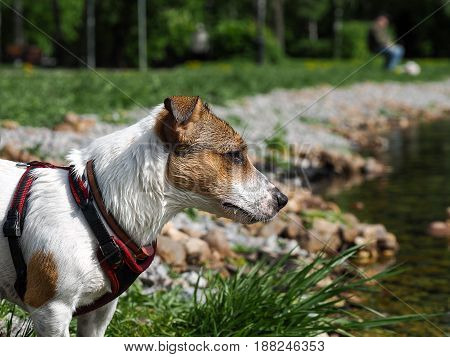 Portrait of a dog sport harness. Jack Russell Terrier