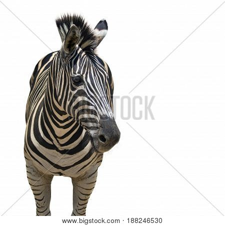 Image of an zebra on white background Wild Animals.