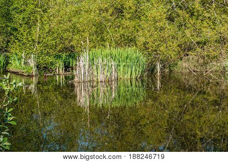 Trees and reeds are reflected on the surface of a pond in Normandy Park Washington.